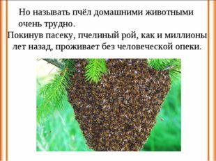 Но называть пчёл домашними животными очень трудно. Покинув пасеку, пчелиный р