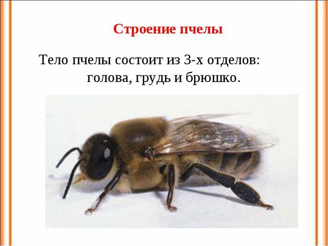 Тело пчелы состоит из 3-х отделов: голова, грудь и брюшко. Строение пчелы