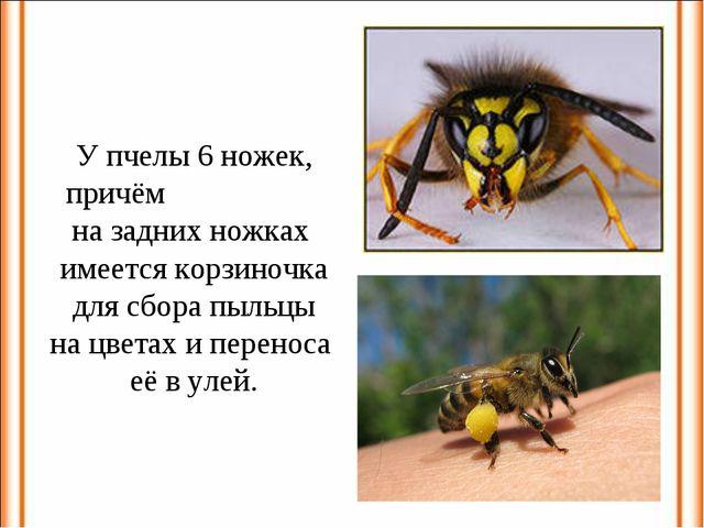 У пчелы 6 ножек, причём на задних ножках имеется корзиночка для сбора пыльцы...