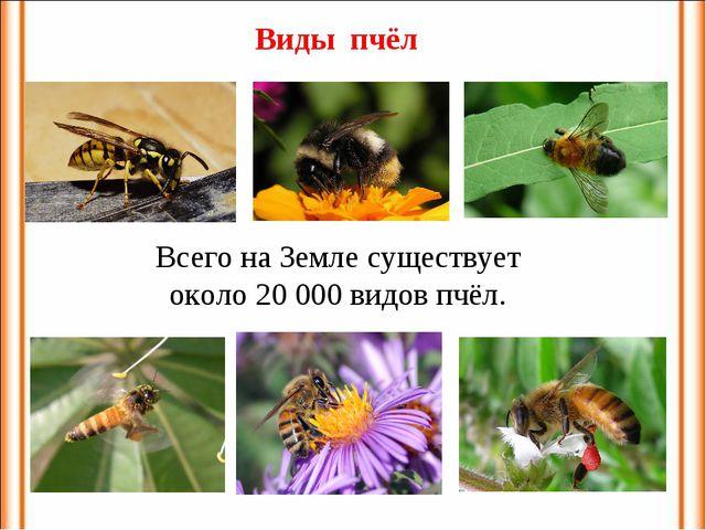 Всего на Земле существует около 20000 видов пчёл. Виды пчёл