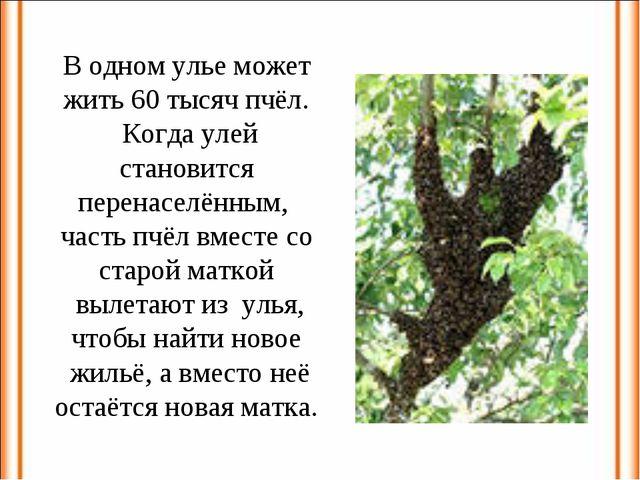 В одном улье может жить 60 тысяч пчёл. Когда улей становится перенаселённым,...