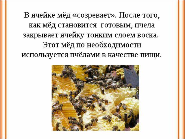 В ячейке мёд «созревает». После того, как мёд становится готовым, пчела закры...