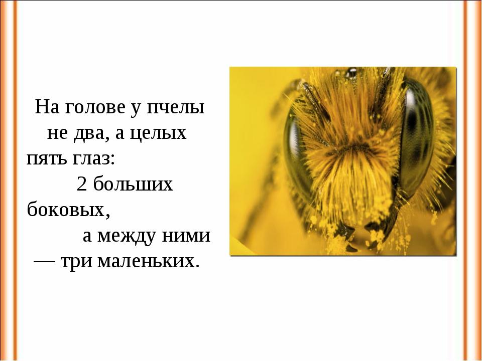 На голове у пчелы не два, а целых пять глаз: 2 больших боковых, а между ними...