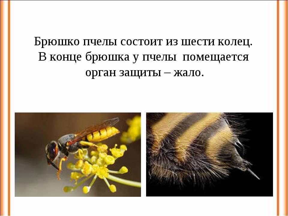 Брюшко пчелы состоит из шести колец. В конце брюшка у пчелы помещается орган...