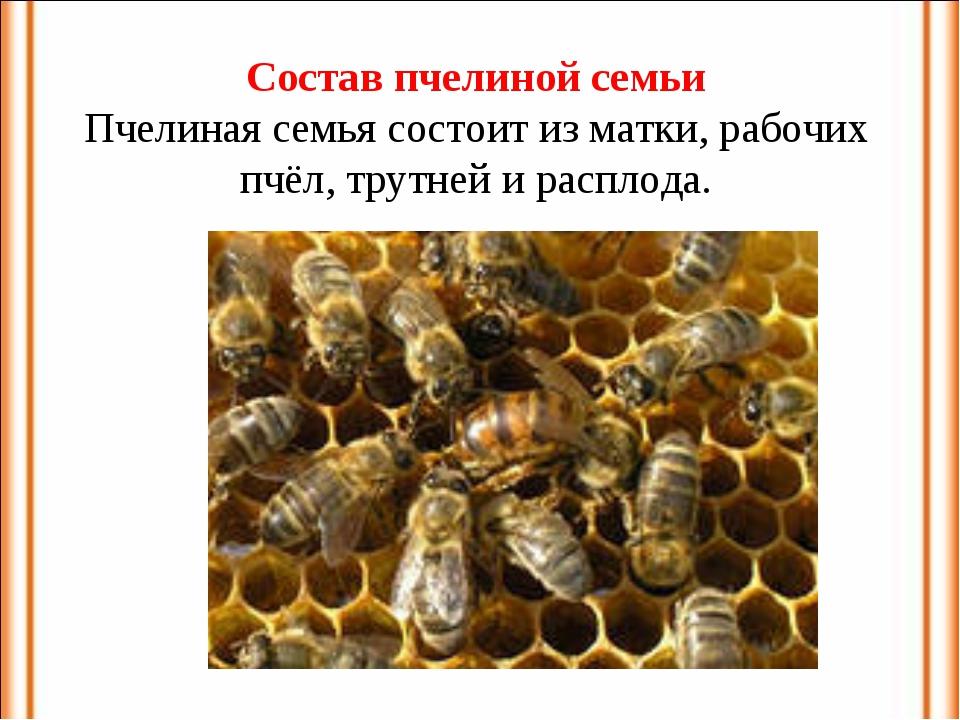 Состав пчелиной семьи Пчелиная семья состоит из матки, рабочих пчёл, трутней...