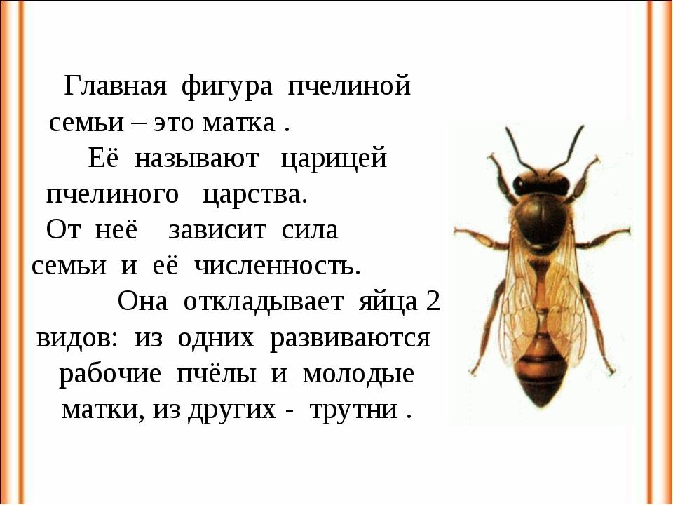 Главная фигура пчелиной семьи – это матка . Её называют царицей пчелиного цар...