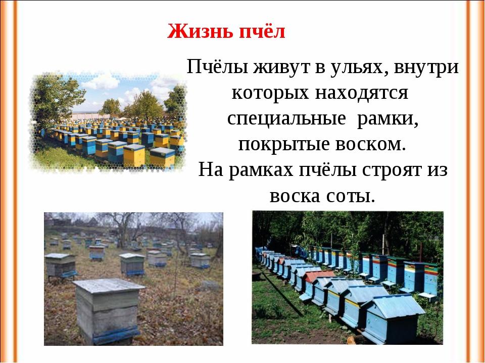 Пчёлы живут в ульях, внутри которых находятся специальные рамки, покрытые вос...
