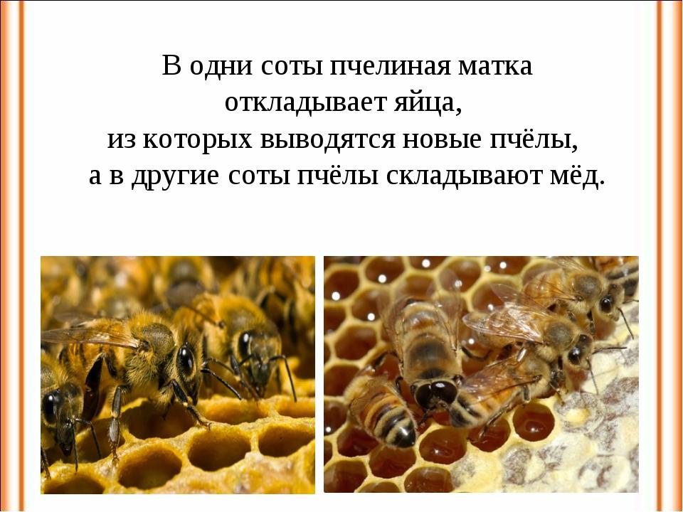 В одни соты пчелиная матка откладывает яйца, из которых выводятся новые пчёлы...