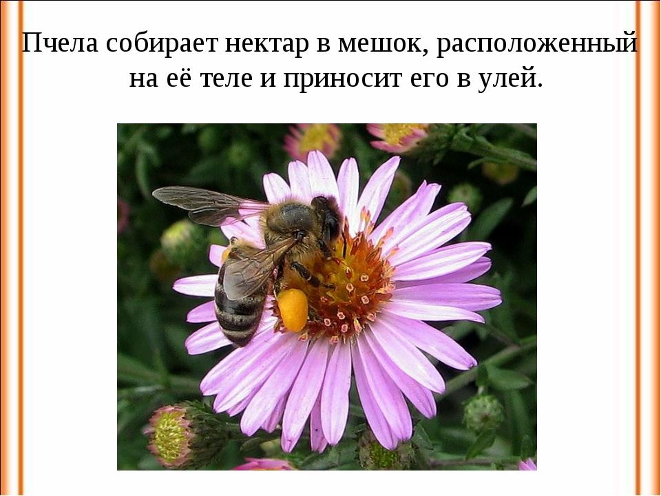 Пчела собирает нектар в мешок, расположенный на её теле и приносит его в улей.