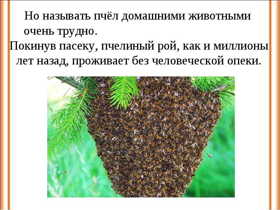 Но называть пчёл домашними животными очень трудно. Покинув пасеку, пчелиный р...