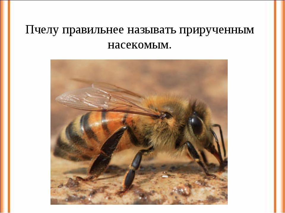 Пчелу правильнее называть прирученным насекомым.