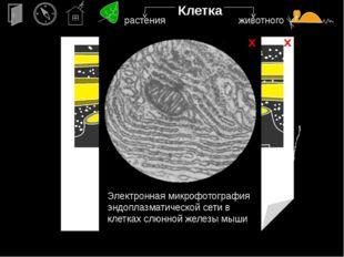 х х Клетка ядро Электронная микрофотография растительной клетки, в которой ви