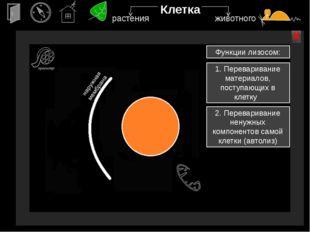 аппарат Гольджи х х Клетка Электронная микрофотография аппарата Гольджи в кле