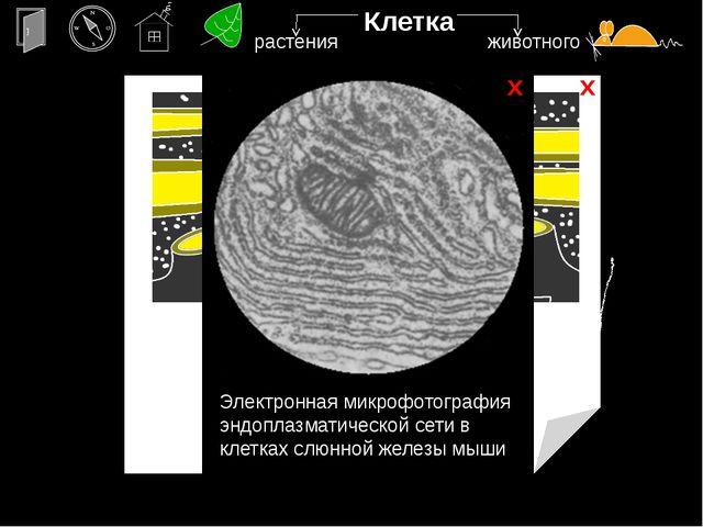 х х Клетка ядро Электронная микрофотография растительной клетки, в которой ви...