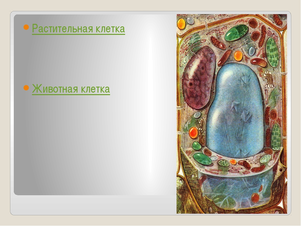 Растительная клетка Животная клетка