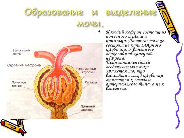 Каждый нефрон состоит из почечного тельца и канальца. Почечное тельце состоит...