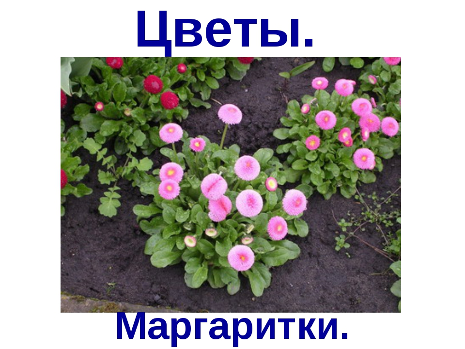 Цветы. Маргаритки.