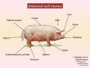 Внешний вид свиньи Уши Шея Задний окорок Рыло Спина Пятачок Хвост Скакательны