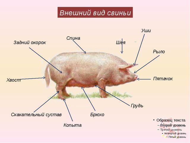 Внешний вид свиньи Уши Шея Задний окорок Рыло Спина Пятачок Хвост Скакательны...