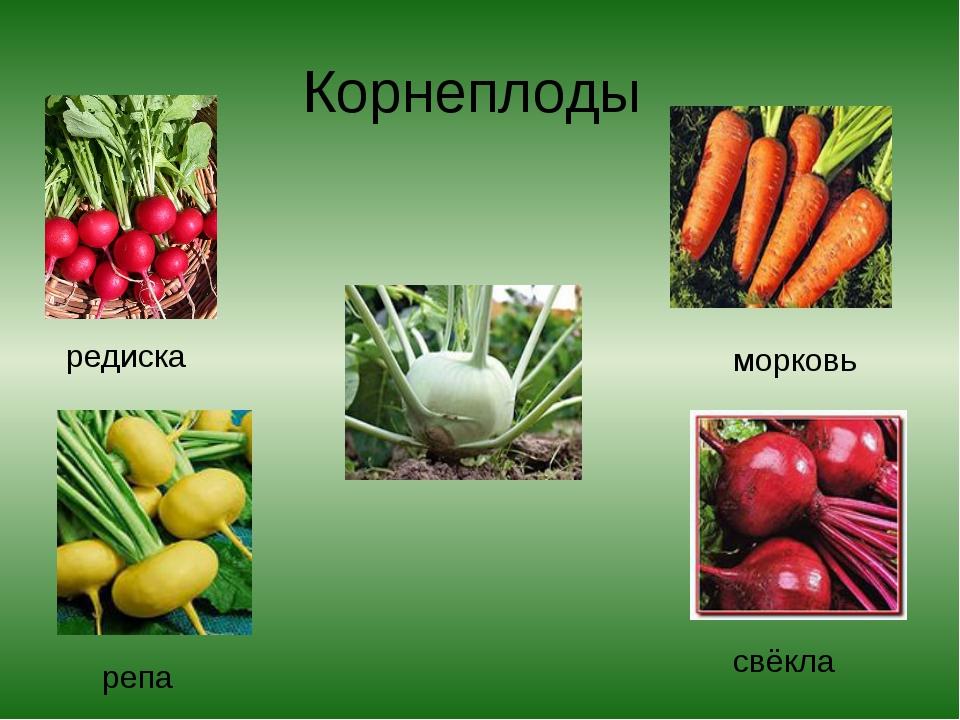 Корнеплоды редиска морковь репа свёкла