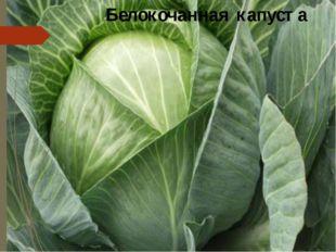 Белокочанная капуста Белокочанная капуста стоит на главном месте в кулинарии.