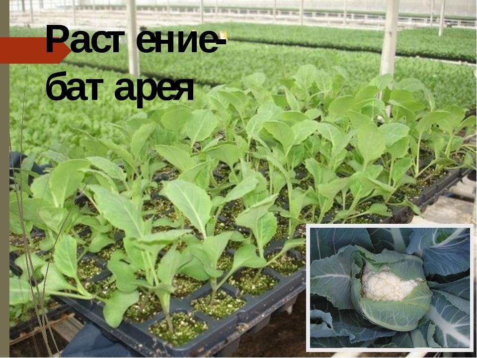 Растение-батарея В США растёт примечательное растение – скунсова капуста или...