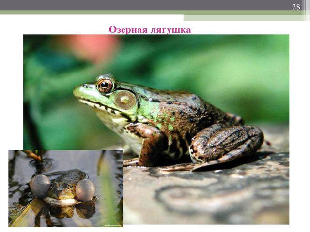 * Озерная лягушка