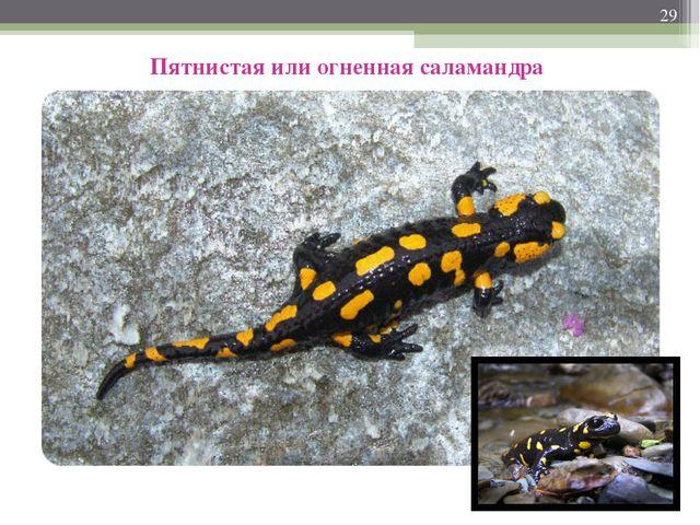 * Пятнистая или огненная саламандра