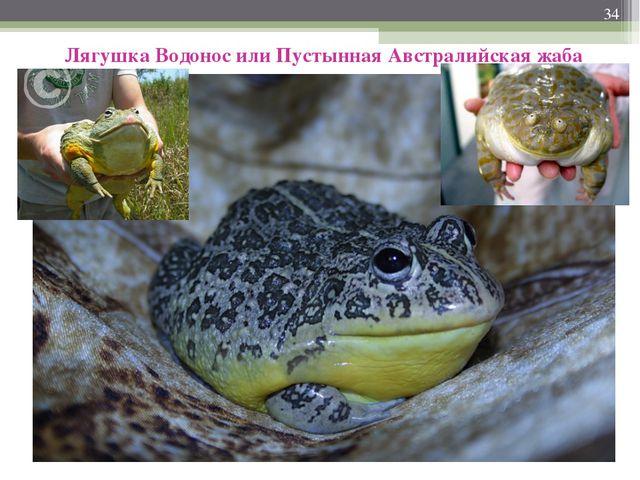 * Лягушка Водонос или Пустынная Австралийская жаба