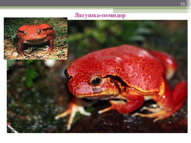 * Лягушка-помидор