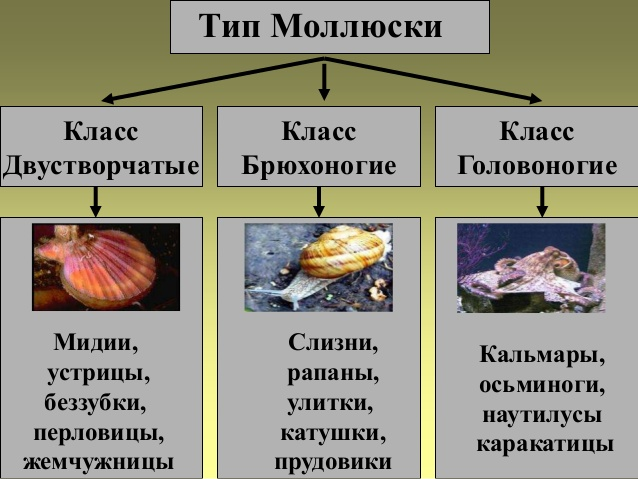 Многообразие и значение моллюсков реферат 757