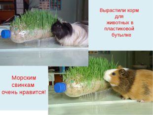 Вырастили корм для животных в пластиковой бутылке Морским свинкам очень нрав