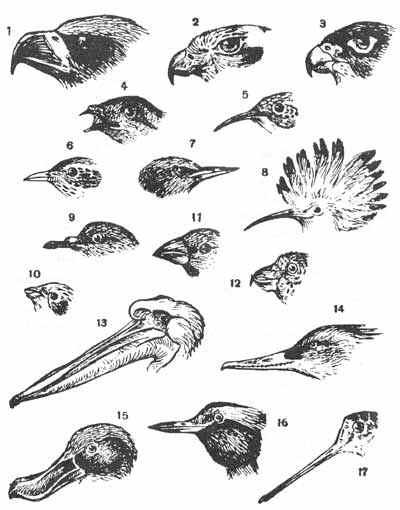 http://www.ecosystema.ru/08nature/birds/morf/m029.jpg