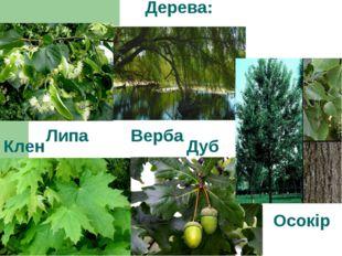 Дерева: Липа Верба Клен Дуб Осокір