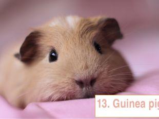 13. Guinea pig