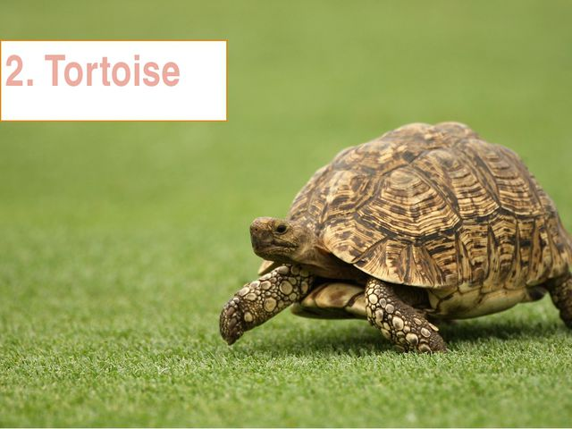 2. Tortoise