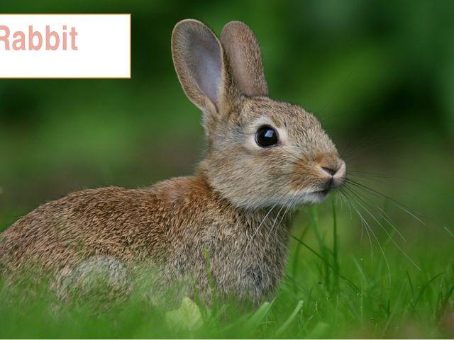 5. Rabbit