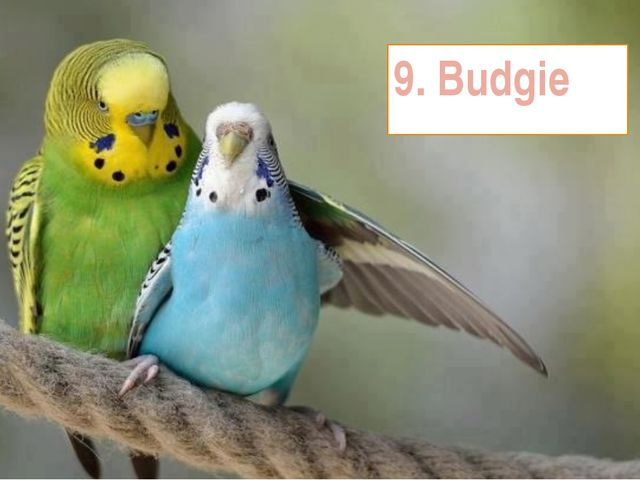 9. Budgie
