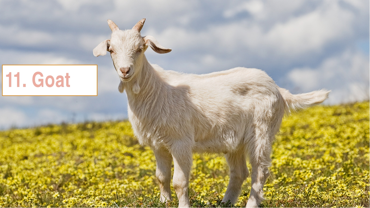11. Goat