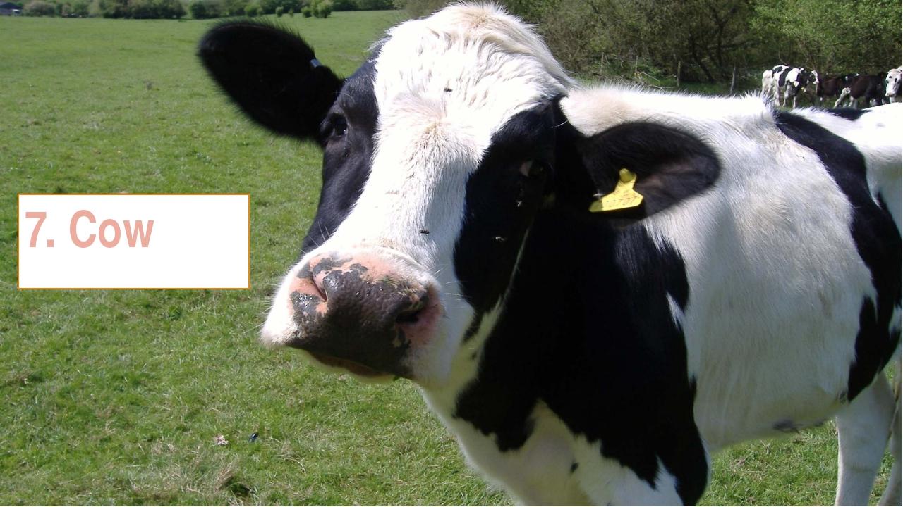 7. Cow