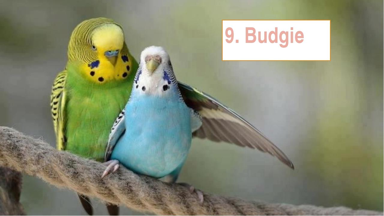 природа животные синий волнистый попугай без смс