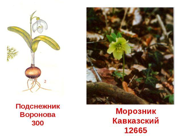 Подснежник Воронова 300 Морозник Кавказский 12665