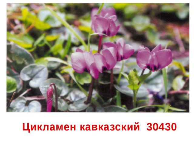 Цикламен кавказский 30430