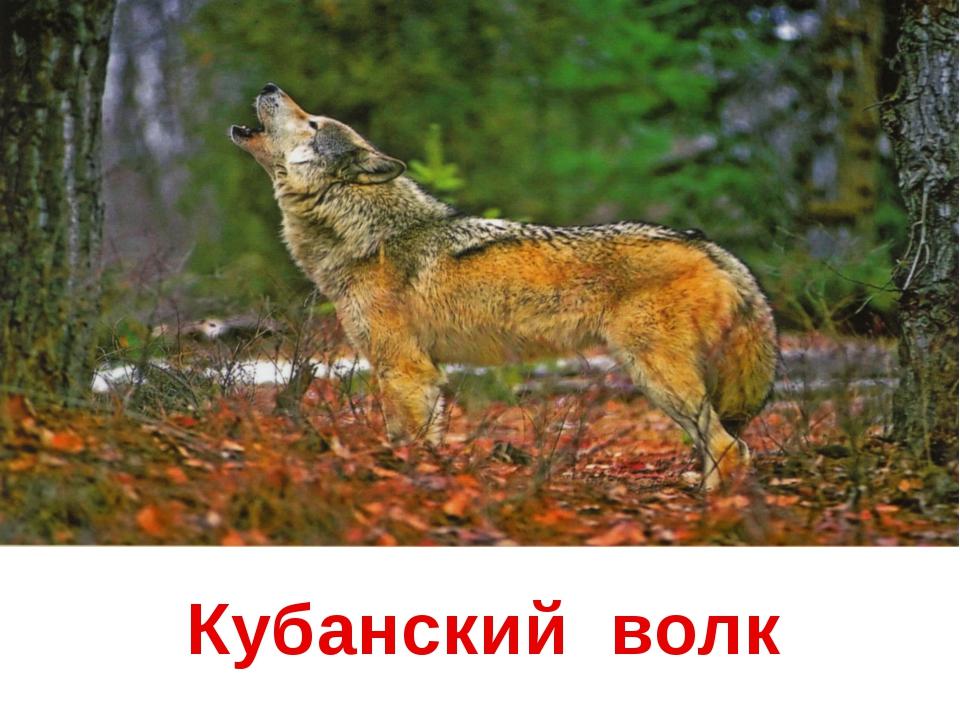 Кубанский волк