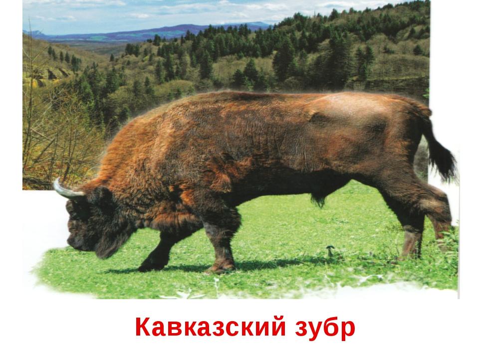 Кавказский зубр