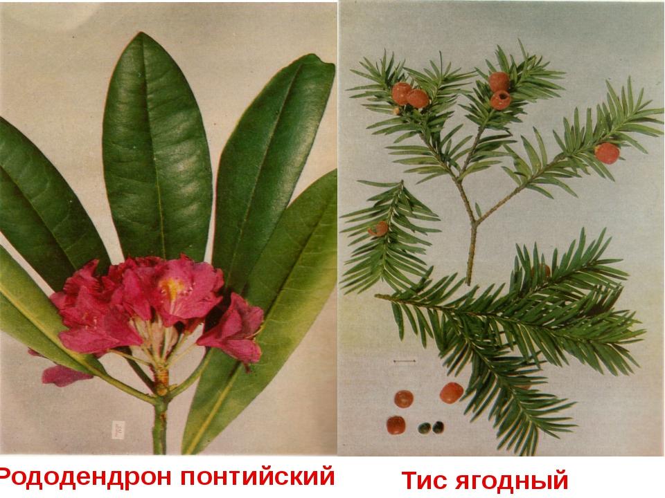 Рододендрон понтийский Тис ягодный