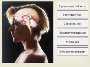 Продолговатый мозг Варолиев мост Средний мозг Промежуточный мозг Мозжечок Бол