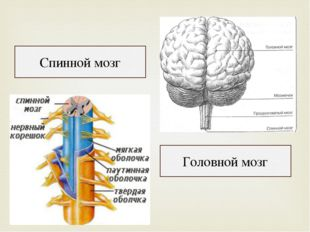 Спинной мозг Головной мозг