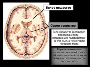 Серое вещество в виде отдельных скоплений – ядер нейронов- располагается как