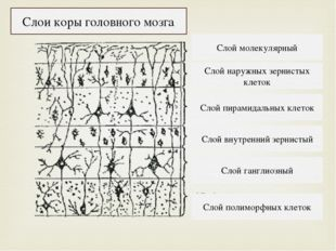 Слой полиморфных клеток Слой ганглиозный Слой внутренний зернистый Слой пирам